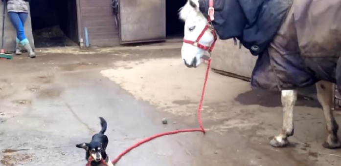Mighty Little Dachshund Takes His Horse for a Stroll
