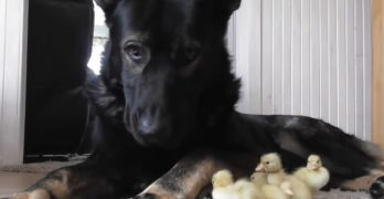 Thorin the German Shepherd Loves Taking Care of His Little Duckling Buddies