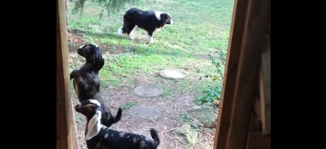 Baby Goat's Escape Attempt Is Foiled by Crafty Border Collie