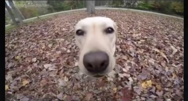 This Labrador Is Living Life to the Fullest…!
