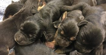 Hours-Old Puppies Were Found Abandoned In A Cardboard Box