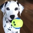 Dalmatian Pup Is The Cutest-Ever Creeper!