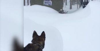 Dig That Dog! Snow-Stuck Pittie Gets Help From Heroic German Shepherd