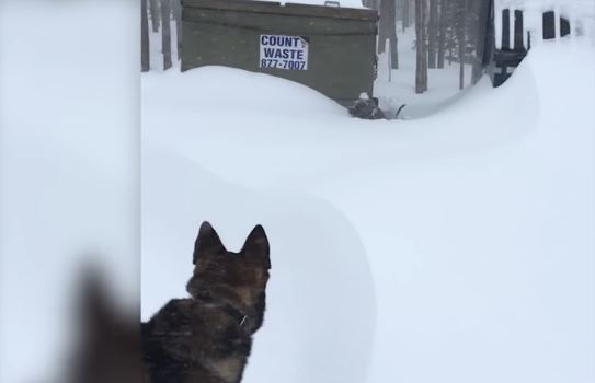Dig That Dog! Snow-Stuck Pittie Gets Help From Heroic German Shepherd