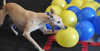 Whippet Good! Dog Sets New Guinness Record for Balloon Popping