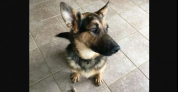 "Maverick Is an Interesting Mix of Breeds Resulting in a ""Pocket Version"" of the German Shepherd"