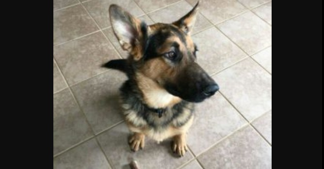 """Maverick Is an Interesting Mix of Breeds Resulting in a """"Pocket Version"""" of the German Shepherd"""