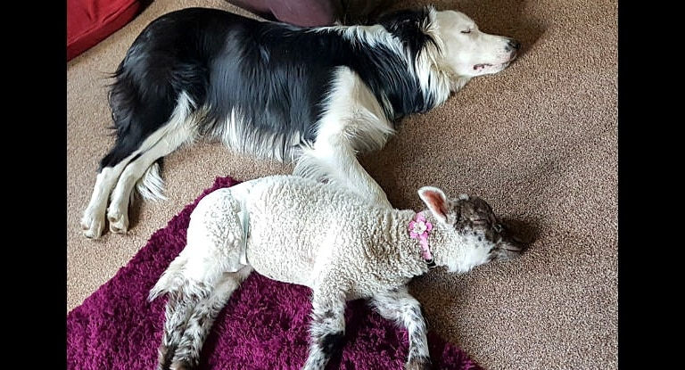 Family Pleads for Help Finding Missing Dog and Lamb Best Friends