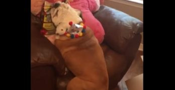 Gerald the Bulldog Tries Desperately to Get On the Chair With One of His Birthday Presents