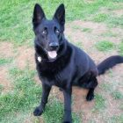 Dona Is a Beautiful GSD Available for Adoption Who Just Wants to Love You