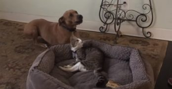 Dog Tries to Reclaim His Bed from the Mean Old Cat