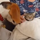 Chloe the Beagle Helps Dry Off Misty the Cat After a Bath