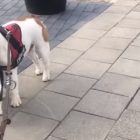 Eddie the Cat Joins His Bulldog Buddy On Walkies