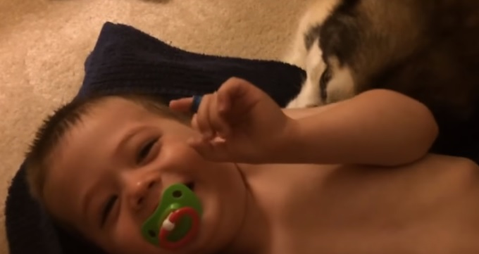 Dude the Alaskan Malamute Proves Why He's Such a Versatile Dog by Helping at Bath Time