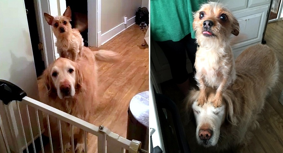 Tiny, Regal Dog Has Her Very Own Majestic Steed