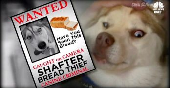 Bread-Boosting Husky Caught Red-Pawed & Sent to the Slammer!