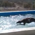 Phelps-Shmelps!  This Dog Could Beat ANYONE in a Swimming Race!