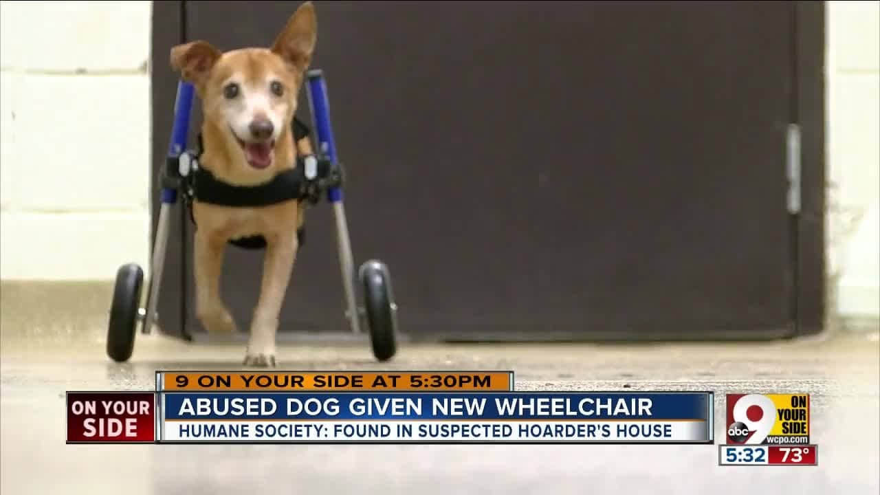 "Abused Dog Called Lt. Dan ""Gets His Legs Back"" With a Donated Wheelchair and a New Family"