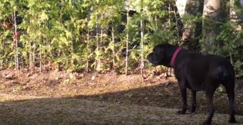 Giant Cane Corso Is Terrified of a Tiny, Little Shih Tzu!