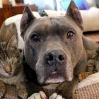 Two Rescue Pit Bulls Have Become Guide Dogs for Three Blind Cats
