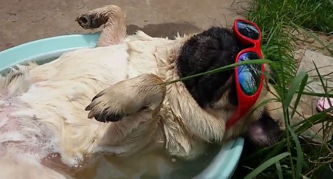 Sun. Soak. Snore. Three Key Components of the Pug Life.