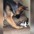 Going Up! German Shepherd Helps Teeny Kitty Up The Stairs