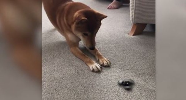"""I Don't Get It!"" Shiba Inu Takes Issue with Fidget Spinner Craze"