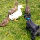 Duck Family Has Absolutely NO Interest in Making Friends With This Dog
