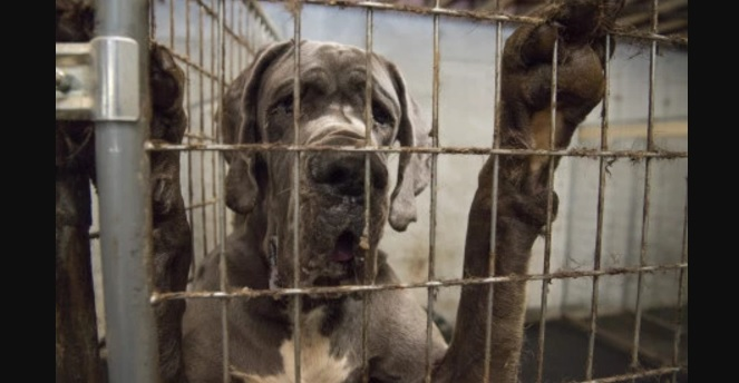 Eighty Four Great Danes Rescued from Mansion Doubling as a Puppy Mill
