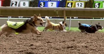 We just Found Out that Corgi Racing Is an Actual Thing!