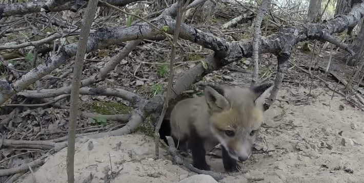 Baby Fox Discovers a GoPro Camera and Tries to Pounce on It