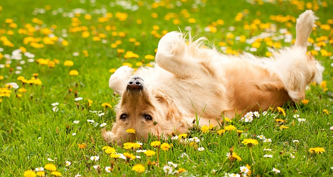 Studies Find Links Between Dog Cancers and Lawn Chemicals