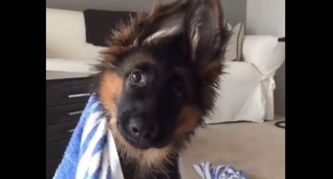 Those Ears! This Pup Knows How To Work 'Em!