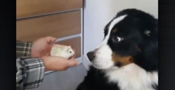 "Dog Just Isn't Having The Whole ""New Hamster"" Thing"