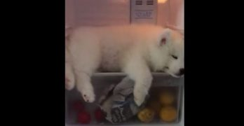 Samoyed Knows How To Beat The Heat!
