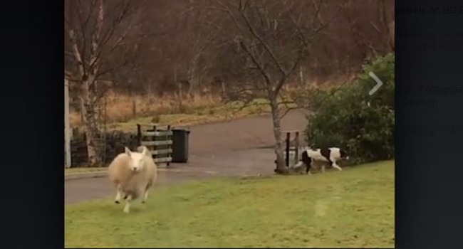 This Fun-Loving Sheep Wants To Be A Sheepdog!