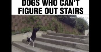 Stair Crazy: These Dogs Just Can't Get It Right