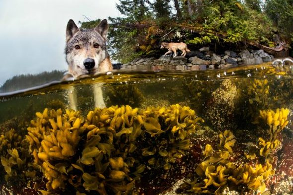 Meet The Rare And Beautiful Sea Wolves A Unique Cousin Of