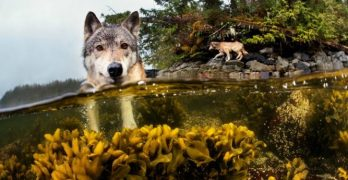 Meet the Rare and Beautiful Sea Wolves, a Unique Cousin of the Dog That Survives Off the Ocean