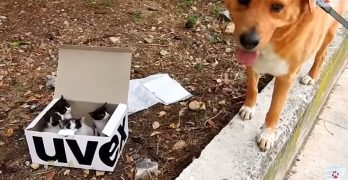 Dog Finds a Box of Kittens and Becomes the Cutest Foster Dad