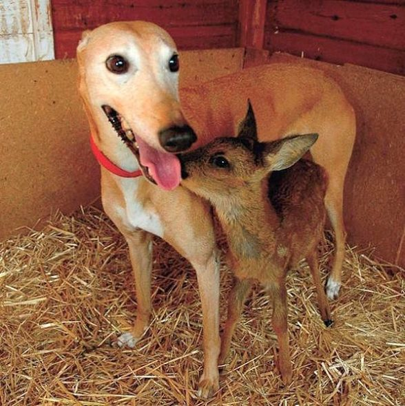 How A Rescued Greyhound Became A Foster Mom To Over 50 Animals