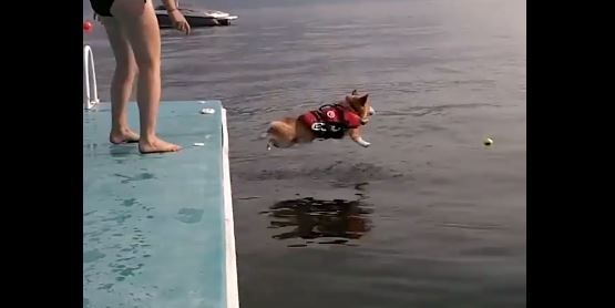 The Corgi Flop Is The Cutest Thing You'll See Today!