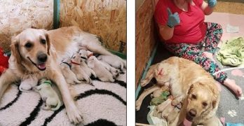 Owner Shocked As Golden Retriever Gives Birth to Rare Green Puppy!