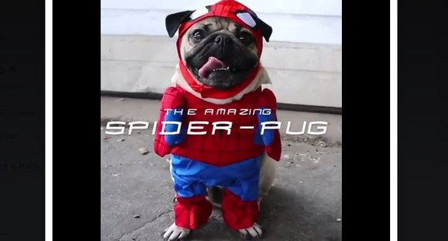 LOOK OUT! Here Comes The SpiderPug…!