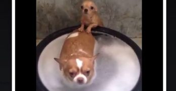 Spa Dogs: Watch little Chi Help His Friend At Bath Time!