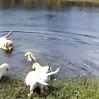 Parent of the Year: Sweet Yellow Lab Teaches Pups to Swim!