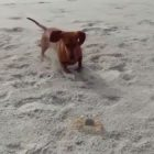 Adorable Doxie Doesn't Want His Crab Playmate To Go Home!