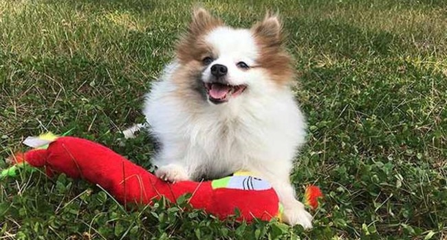 Chicago Pom Stolen Inside Car Reunited With Family