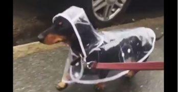 Weenie in a Raincoat!