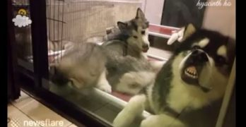 Hilarious Husky Flies His Freak Flag High